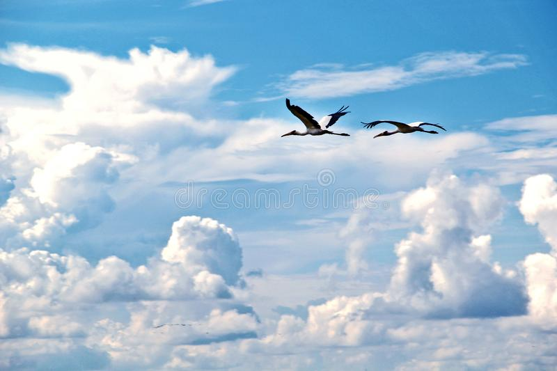 A pair of beautiful pelicans flying with clear sky and clouds stock image