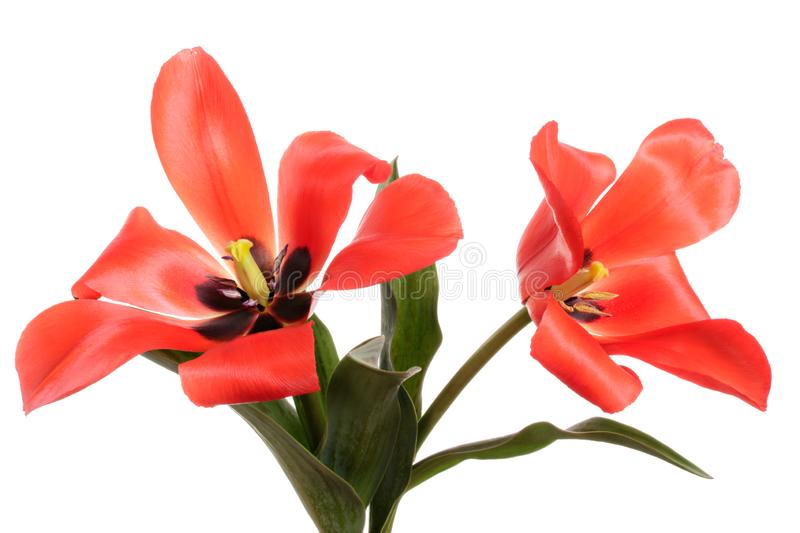 Pair beautiful spring flowers. Tulips isolated on white background. Valentines card. Pair beautiful spring flowers. Red Tulips isolated on white background royalty free stock photos