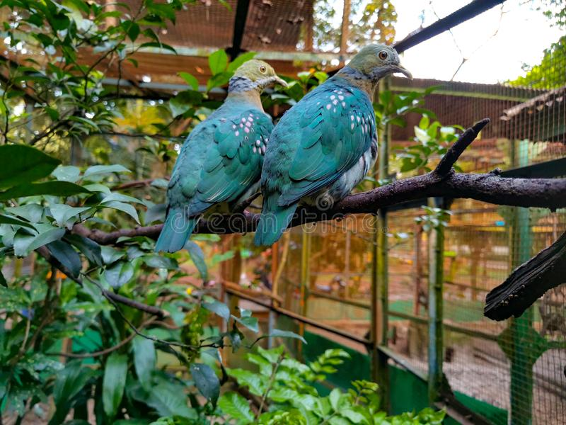 Pair of beautiful stock dove birds. Two birds sitting on the branch. Two beautiful birds in green habitat. Glance at the camera stock images
