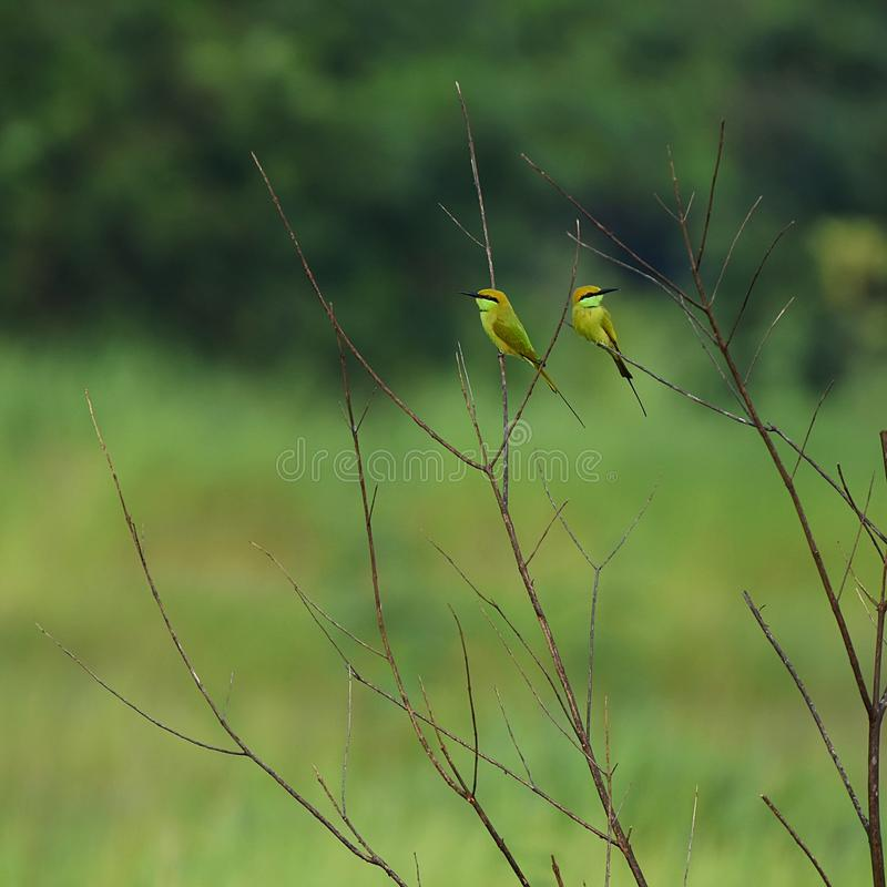 Pair of bee eater on twigs royalty free stock photo