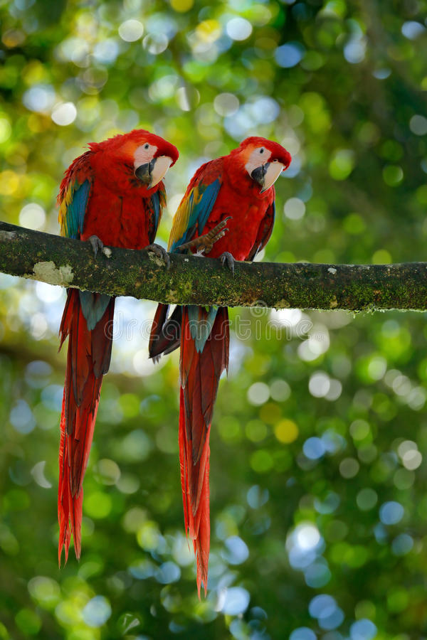 Pair of big parrot Scarlet Macaw, Ara macao, two birds sitting on branch, Costa rica. Wildlife love scene from tropic forest natur. E stock photography