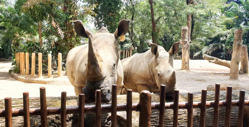A pair of big rhinoceros in the Zoo. Rhinoceros staring at camera stock photo