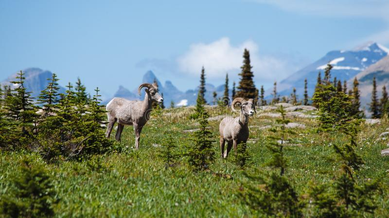 A Pair of Bighorn Sheep at Hidden Lake trail, Glacier National Park stock photo
