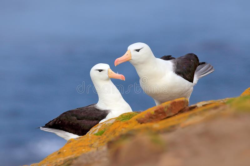 Pair of birds Black-browed albratros. Beautiful sea bird sitting on cliff. Albatross with dark blue water in the background, Falkl stock images