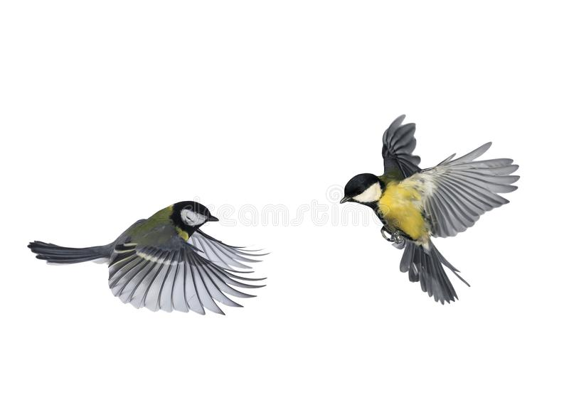 pair of birds blue Tits flying to meet wings and feathers on white isolated background stock images