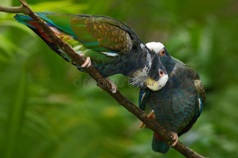 Pair of birds, green and grey parrot, White-crowned Pionus, White-capped Parrot, Pionus senilis, in Costa Rica. Lave on the tree. royalty free stock image