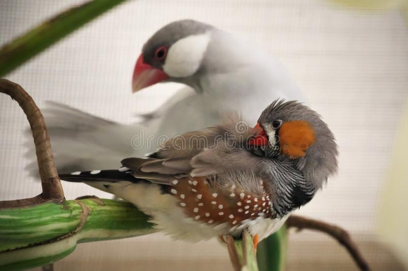 Pair of birds, one silver opal color java sparrow bird and one zebra finch, perched on the green branch. Close-up of one silver opal color java sparrow bird and stock image