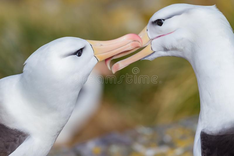 Pair of black browed albatross doing mating kissing. On Falkland Islands stock photos