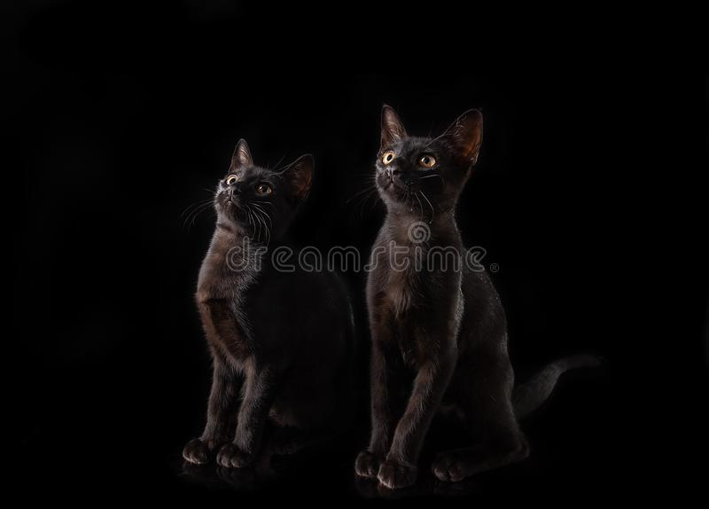 A pair of black cats on a black background. A pair of black cats on a black background stock image