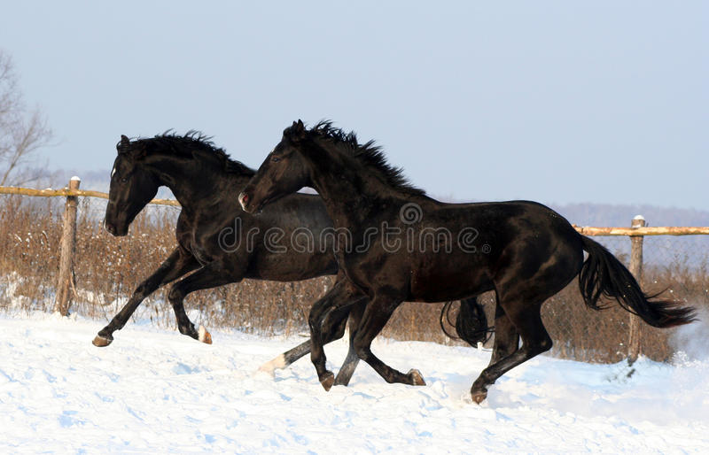Download A Pair Of Black Horses Royalty Free Stock Photography - Image: 12265317
