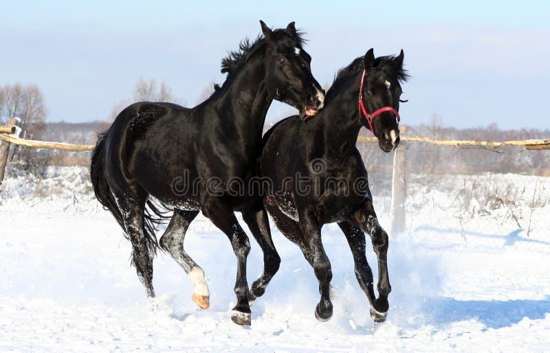 A pair of black horses