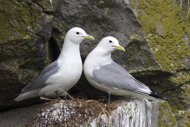 Pair of black-legged kittiwake sitting on a nest in the spring royalty free stock photos