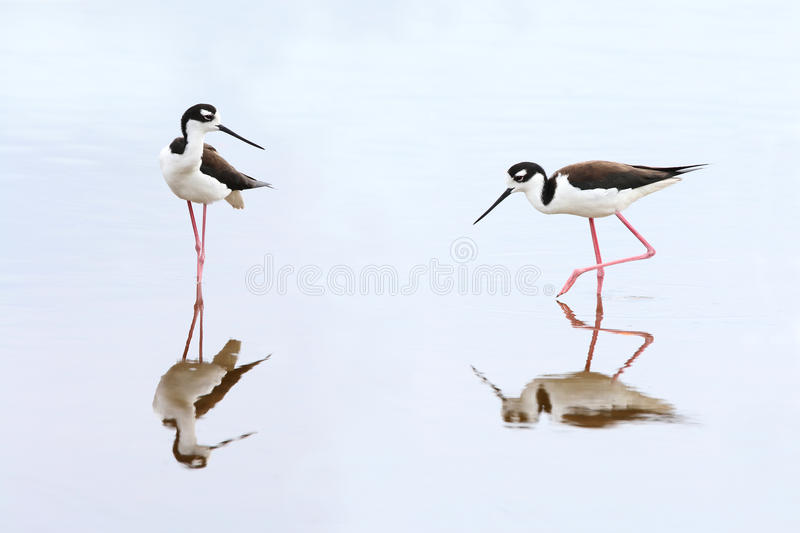 Pair of Black-necked Stilts - Everglades National Park. Pair of Black-necked Stilts (Himantopus mexicanus) - Everglades National Park, Florida royalty free stock photography