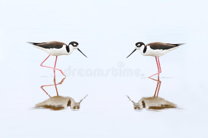 Pair of Black-necked Stilts - Everglades National Park. Pair of Black-necked Stilts (Himantopus mexicanus) - Everglades National Park, Florida stock photo