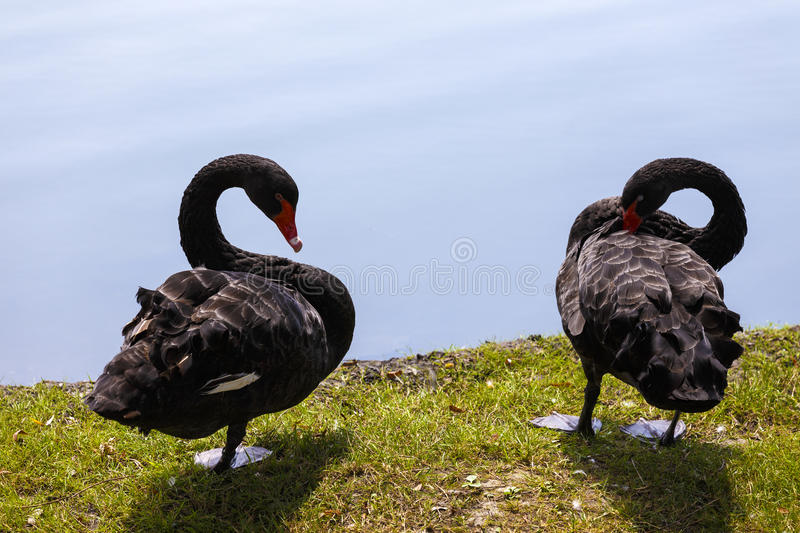 A pair of black swans royalty free stock image