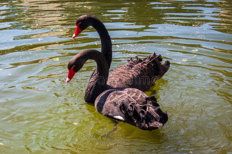 Pair of the black swans in love on a small lake stock images