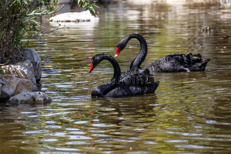 A pair of black swans swimming royalty free stock photo