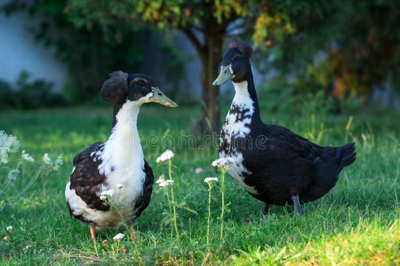 Pair of black and white ducks. Pair in my garden royalty free stock photography