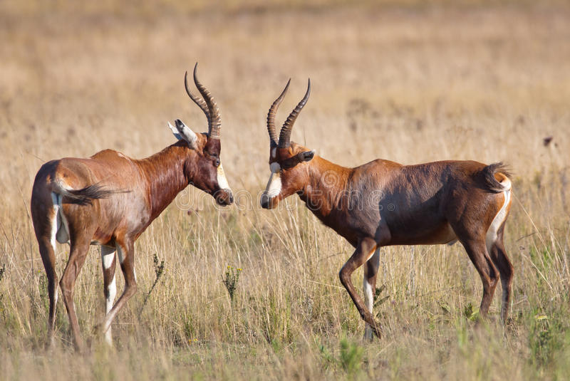 Download Pair Of Blesbok Head To Head Stock Image - Image: 25553999