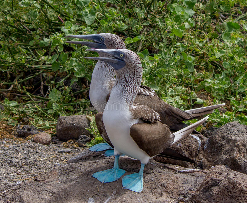Pair of Blue Footed Boobys royalty free stock photo