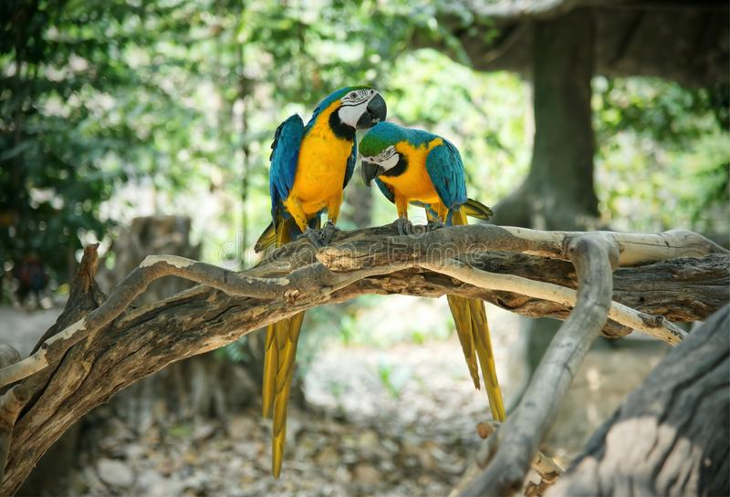 Pair of blue and yellow gold macaw parrot on wood stock images