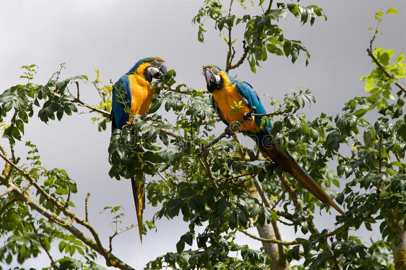 A pair of Blue and Yellow Macaws. A pair of Blue and Yellow Macaws, Ara ararauna, flying free at the Zoo stock photo