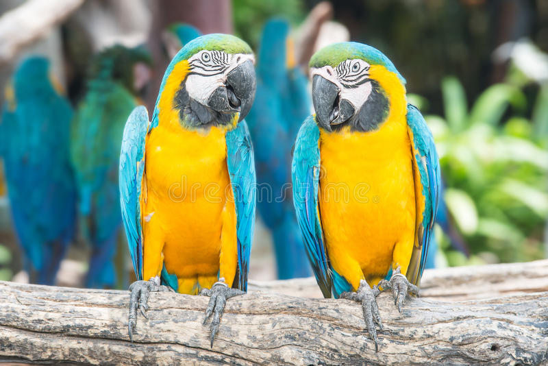 A pair of blue-and-yellow macaws perched in the jungle. stock images
