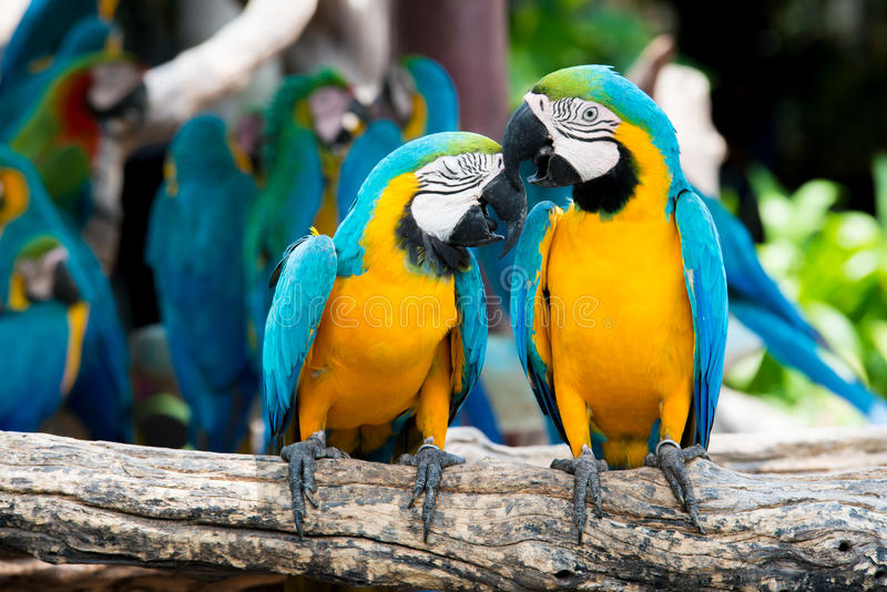 A pair of blue-and-yellow macaws perching at wood branch in jung stock photos