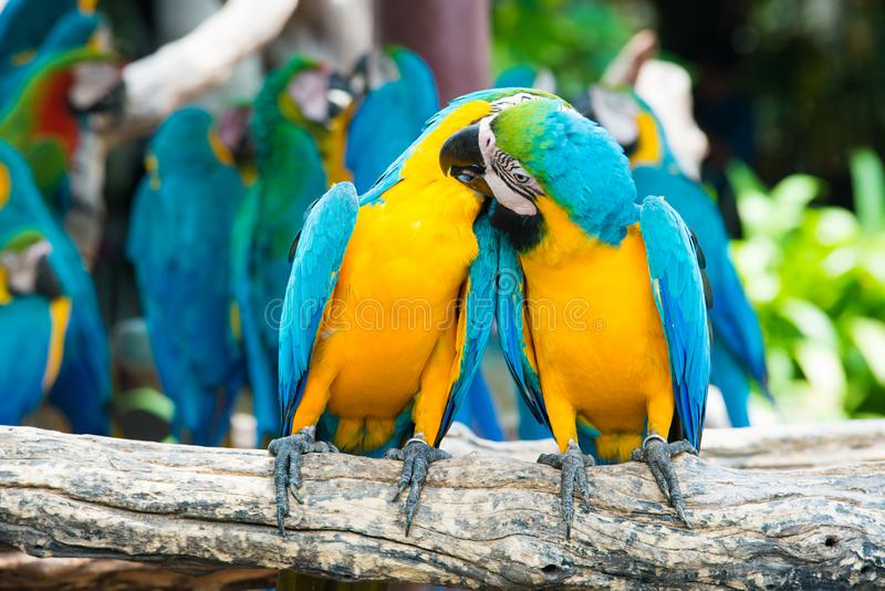A pair of blue-and-yellow macaws perching at wood branch in jungle. Colorful macaw birds in forest stock image