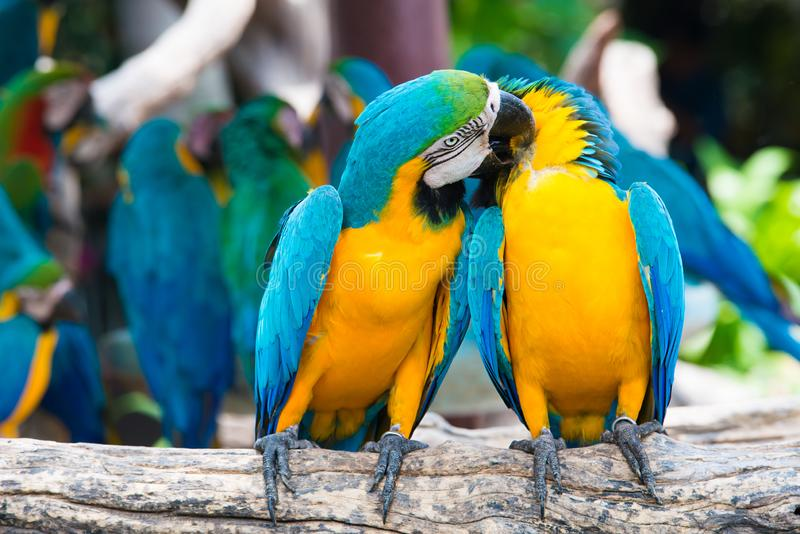 A pair of blue-and-yellow macaws perching at wood branch in jungle. Colorful macaw birds in forest.  stock photo