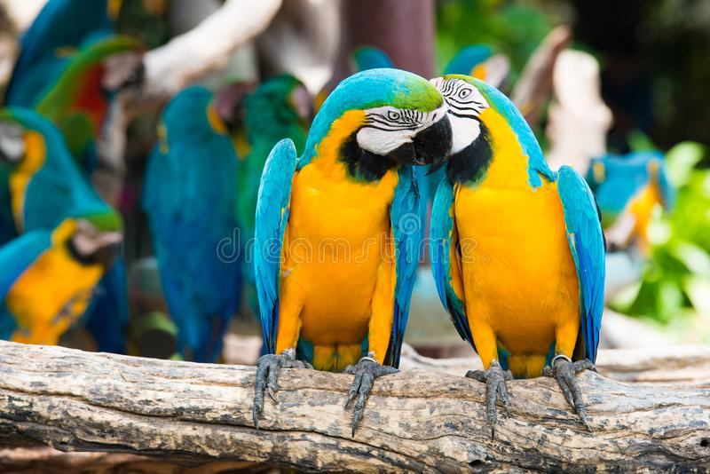 A pair of blue-and-yellow macaws perching at wood branch in jung stock photography