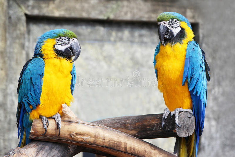 A pair of blue-yellow parrots (ara,macaws) sitting on a baranch in jungle. Parrots in captivity royalty free stock photos