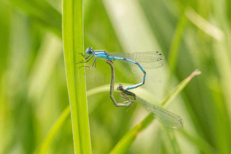 Pair of bluet damselflies perched and breeding on a blade of grass stock images