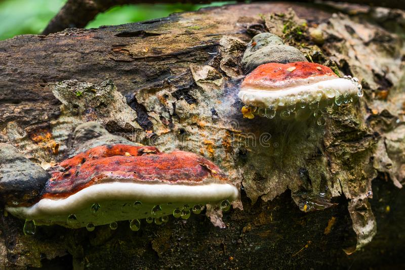 A pair of bracket fungus Ganoderma Applanatum on deat tree trunk with leading water drops. Closeup with selective focus royalty free stock photos