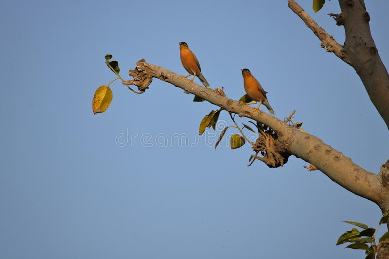Pair of Brahmin starling bird. Sitting on the branch of tree. Beautiful natural sky blue background stock images