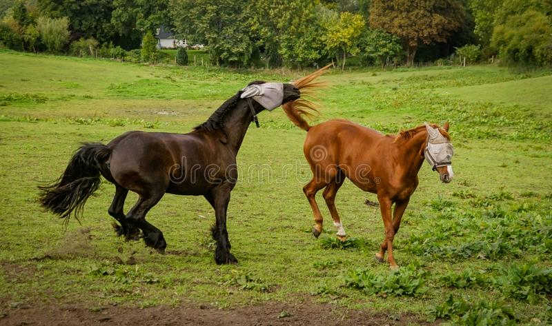 Horses in green field. A pair of brown horses in a green field royalty free stock photo