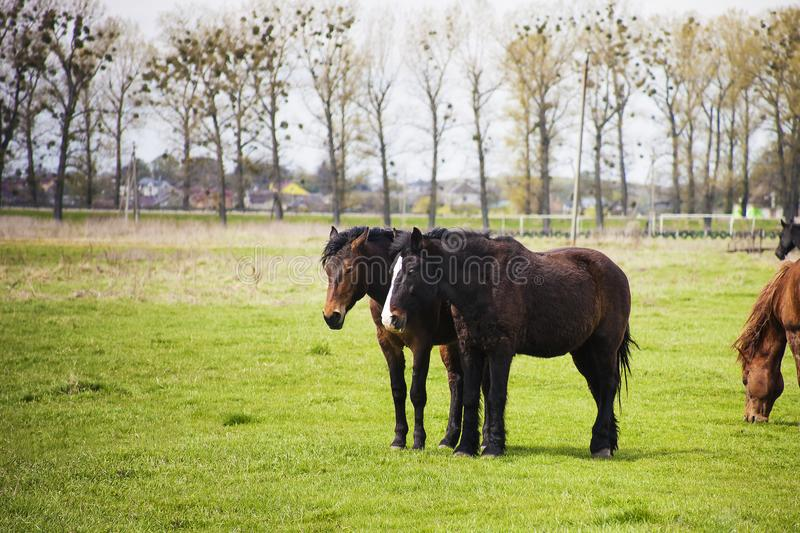 Pair of brown horses walking on field stock photography