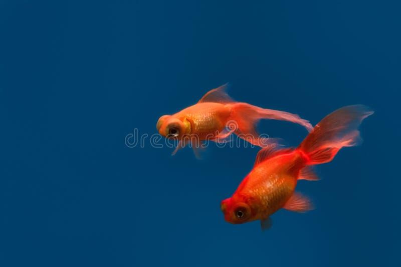 Two bubble eye goldfish swim gracefully in aquarium stock photos