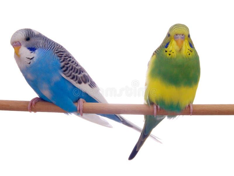 Pair budgerigar royalty free stock images