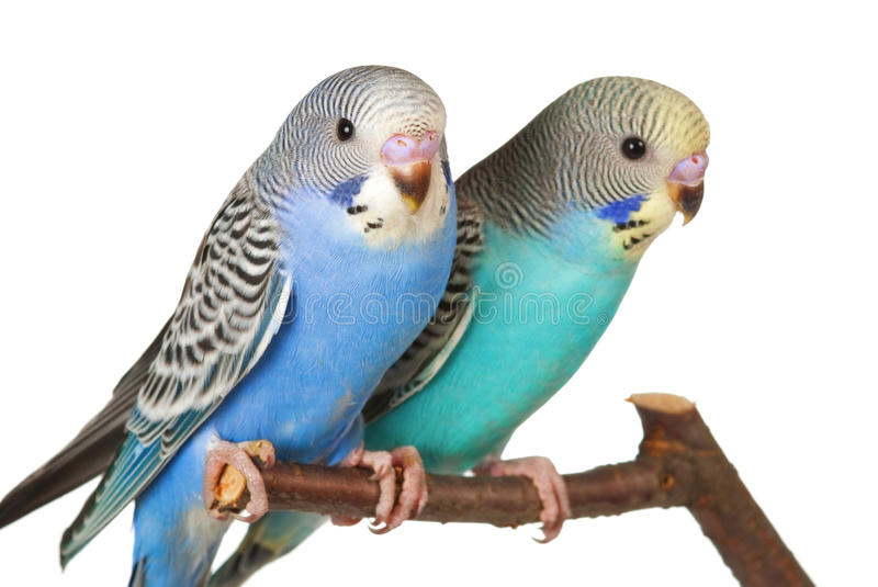 Pair of budgerigars. A pair of young budgerigars on white