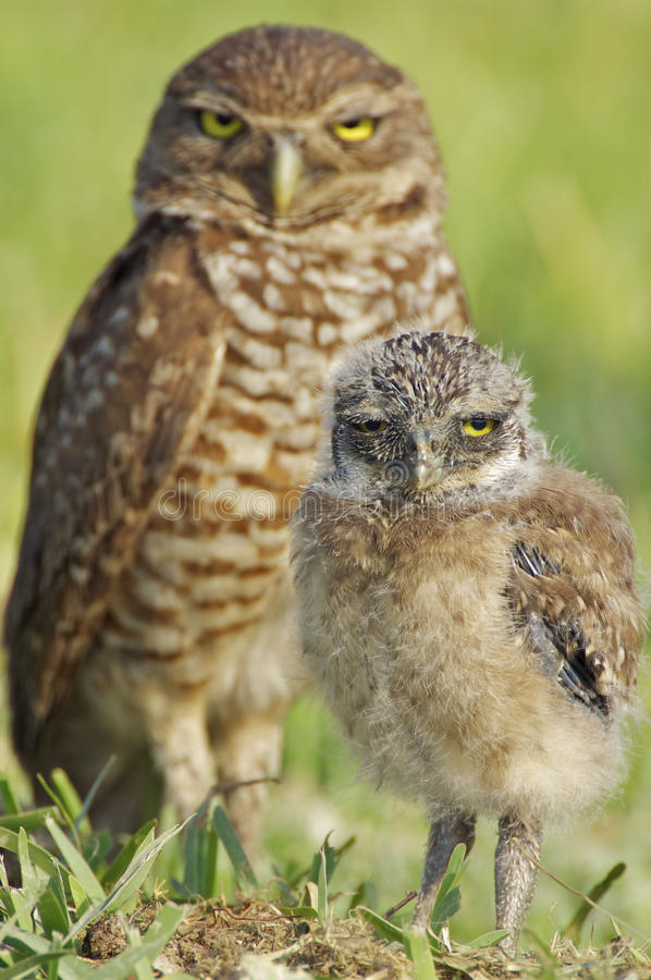 Pair of Burrowing Owls. Baby Burrowing Owl with mother's watchful eye in background royalty free stock photo