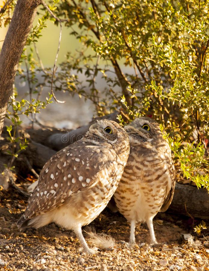 Pair of burrowing owls looking skyward royalty free stock photography