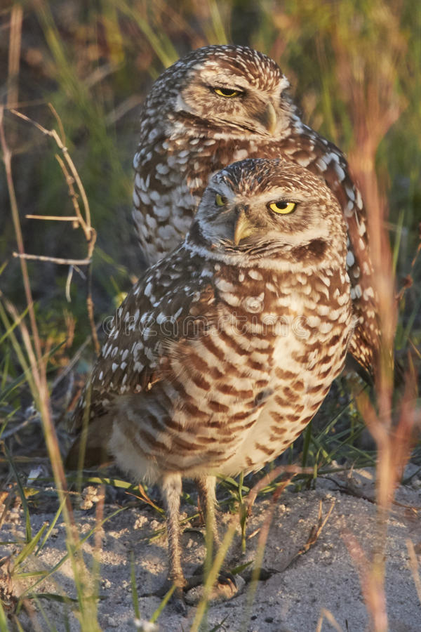 Pair of Burrowing Owls stock photography