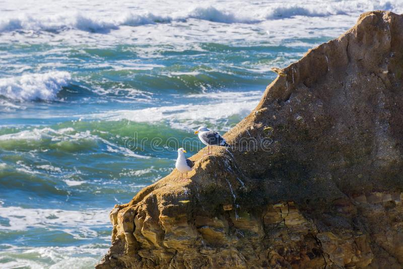 A pair of California gulls on a rock, Wilder Ranch State Park, California stock photo