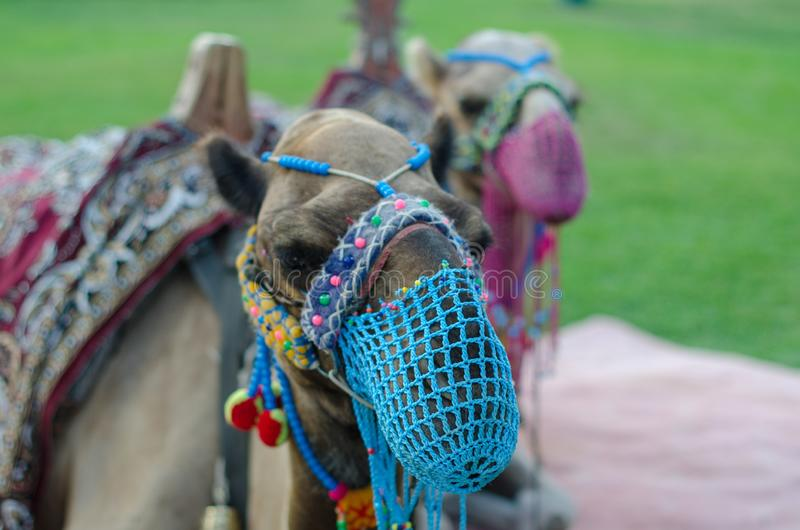 A pair of camels with a net on the face are walking on the lawn.  stock photography
