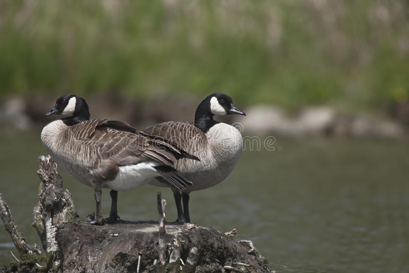 Pair of Canada Geese. Close up royalty free stock image