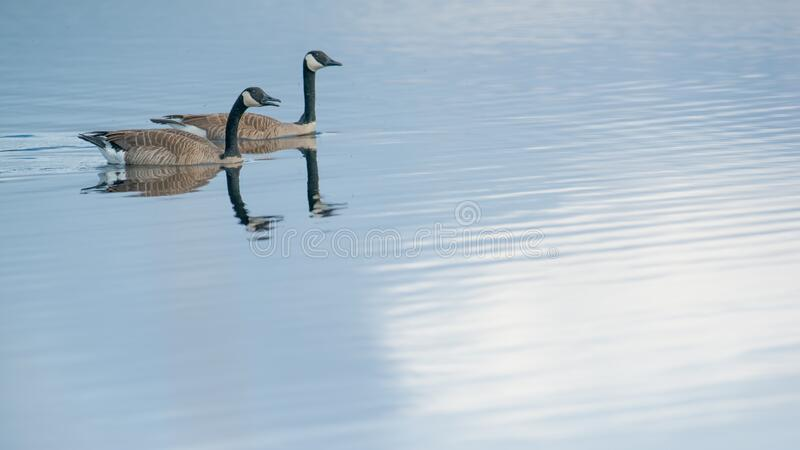Pair of Canada geese on beautiful calm blue peaceful tranquil lake - taken during Spring migrations at the Crex Meadows Wildlife A. Rea in Northern Wisconsin royalty free stock photography