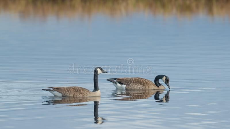 Pair of Canada geese on beautiful calm blue peaceful tranquil lake - taken during Spring migrations at the Crex Meadows Wildlife A. Rea in Northern Wisconsin stock photos