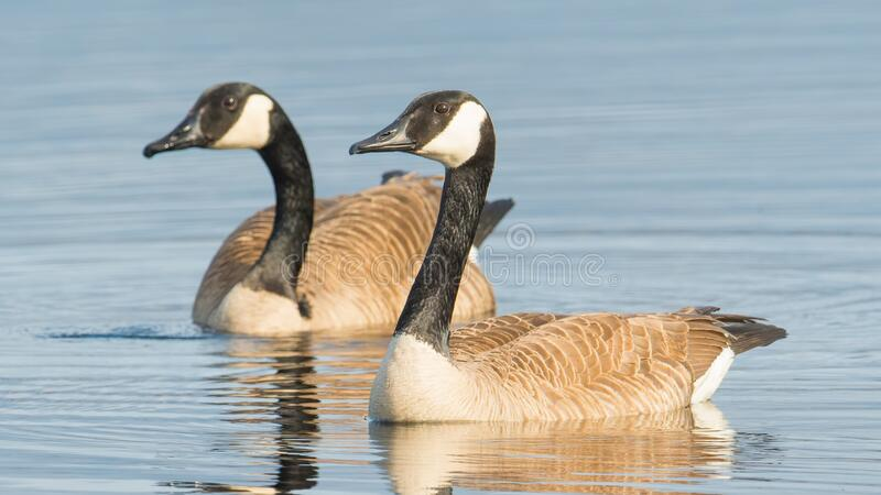 Pair of Canada geese on beautiful calm blue peaceful tranquil lake - taken during Spring migrations at the Crex Meadows Wildlife A. Rea in Northern Wisconsin stock image