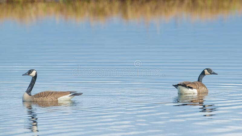 Pair of Canada geese on beautiful calm blue peaceful tranquil lake - taken during Spring migrations at the Crex Meadows Wildlife A. Rea in Northern Wisconsin stock photo